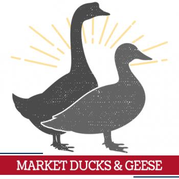 market ducks geese icon, sunshine around ducks and geese